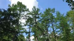 Larch forest (Jos Mecklenfeld) Tags: larch lariks lärchen forest bos wald nature natur natuur fabrieksbos terapel westerwolde groningen netherlands niederlande sonyxperiaz5 xperia hiking wandelen wandern