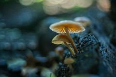 protect me (gnarlydog) Tags: adaptedlens vintagelens fujinon55mmf22 bokeh subjectisolation bubbles fungi mushroom australia rainforest closeup macro backlit contrejour colorful manualfocus surreal shallowdepthoffield blue