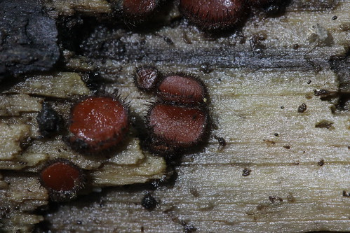 Scutellinia sp.