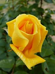 Rosas (2) (calafellvalo) Tags: floresspringamapolaspoppycalafellvalorosasroses rosas roses amapolas redpoppy roselles flors flerus flowers garden jardines calafellvalo santjordi cervantes chaquespeare perfumes spring primavea colores