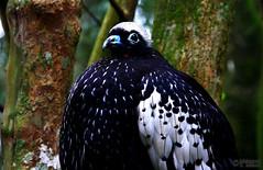 Bare-faced Curassow (Crax fasciolata) (Mahmoud R Maheri) Tags: bird barefacedcurassow craxfasciolata brazil iguasso fatbird forest birdpark