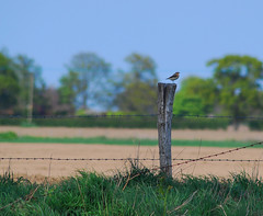 Like a bird, on a ... well, a post actually. Our friendly Wheatear between Freston and Holbrook, Suffolk (neil mp) Tags: wheatear oenantheoenanthe turdidae bird freston holbrook suffolk rspb spring
