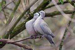 The Mating Game (arthurpolly) Tags: avian avianexcellence birds collarddove dove canon 7dmk2 100400is eos elements13 eyes flickrdiamond kiss liesure nature natureselegantshots naturesfinest photoshop uk wildlife wild