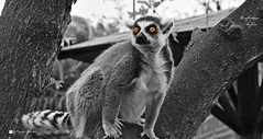 LEMURE. (Salvatore Lo Faro) Tags: natura nature lemure madagascar park zoo safari pombia salvatore lofaro nikon 7200