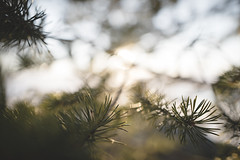 (DrowsyPotato) Tags: sigma 24mm f14 bokeh bokehful nature sweden forests natur forest woods metabones iv jämtland a7rii mark ii mkii mk2 a7r2