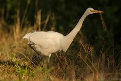 Tall grass foraging {Explored} (ChicagoBob46) Tags: greategret egret bird jndingdarlingnwr florida sanibel sanibelisland nature wildlife exlpore explored specanimal
