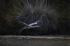 Héron (Melvin. A) Tags: héron heron eau fleuve rhone rhônes nature camargue vol oiseau oiseaux bird vogel animalière animalier animaux
