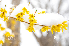 Spring Snow Flowers-  April 2017  #327 (DBruner240) Tags: flowers flower ngc snow snowstorm nd north dakota grand forks spring blooming yellow forsythia bushes