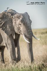 20160216-17-57-43_A015101 2000px (ajm057) Tags: 8takenusing africa africanelephantloxodontaafricana africanbushelephantloxodontaafricana amboselinationalpark andymillerphotolondonuk elephantidaeelephants kenya loxodonta mammal nikond4s proboscideaelephants reservesparks wildlifephotography kajiado ke african elephant