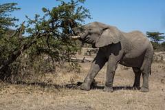 He escaped with his life, hopefully... (Ring a Ding Ding) Tags: 2017 africa elephant kenya kitcheche masaimara olareorek cruelty injury nature poaching safari tusks wildlife narokcounty coth loxodontaafricana