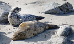 Harbor Seals (charlottes flowers) Tags: harborseals montereybay pacificgrove beach