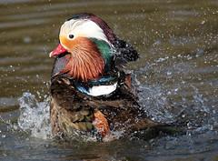 mandarijneend blijdorp JN6A1526 (joankok) Tags: dier duck eend animal vogel bird blijdorp mandarijneend manderinduck