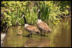 52 Weeks of Pix 2017: Birds (GadgetHead) Tags: canadagoose canadageese ashtoncanal clayton manchester uk greatermanchester lancashire 2017 52weeks2017 52weeksofpix2017 d3100 nikond3100 nikon dslr tamron tamron16300mm 1603000mmf3563 1952 week19 19 no19 bird birds geese brantacanadensis gosling