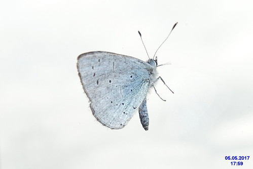 Holly blue (ex SuGr)