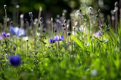 meadow (Stefano Rugolo) Tags: pentax k5 colors bokeh smcpentaxm50mmf17 italy spring 2017 plant outdoor depthoffield blossom purple green light fabriano appennini nature flowers meadow focus grass pov perspective dof marche stefanorugolo