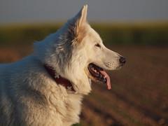 Filou (reuas ogni) Tags: hund dog perro berger blanc suisse weisser schäferhund white sheperd sheep tierfotografie hundefotografie pets haustiere chien 狗 isoz