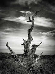 Tree Remnant (StefanB) Tags: 1235mm 2017 arastraderopreserve bw california em5 geotag hiking monochrome outdoor tree treescape