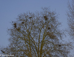 Linton for Sweet Talk-60 (GabrielleRose1) Tags: linton nests trees