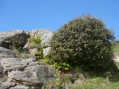 Holm Oak (Quercus ilex) (sianmatthews25) Tags: hastings holmoak tq8209 westhill