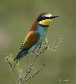 Bee-eater_MG_5151