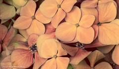Fusión de petalos (ojoadicto) Tags: hortensia flor flower macro pink vintage delicate petalos nature naturaleza