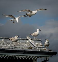 Shooting The Breeze (Cirrusgazer) Tags: brighton brightonpier herringgulls breeze cloud flying hovering seagulls seaside sunshine wind