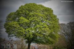 Beverley - East Yorkshire (SteveH1972) Tags: beverley eastyorkshire england northernengland britain canon7d canonef70200mmf28lusm canon70200 70200 canon yorkshire 2017 uk europe green tree