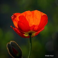 Portrait de coquelicot (didier95) Tags: coquelicot fleur fleurrouge rouge