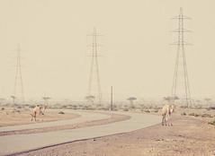 Dubai (miemo) Tags: dubai middleeast uae unitedarabemirates bend camels curve desert em5mkii landscape nature olympus olympus40150mmf456 omd powerlines pylons road sand travel