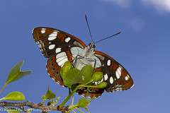 Southern White Admiral (Richard Becker Photography) Tags: butterflies southern white admiral limenitis reducta france insects butterfly