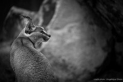 Caracal (Angélique Gilson) Tags: angéliquegilsonphotographie angeliquegilson caracal big cat noirblanc bw zoo zoodeparis mnhn