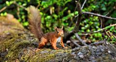 Red Squirrel (andrewmckie) Tags: scotland wildlife outdoor fife squirrel red animal redsquirrel