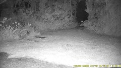 TrailCam227 (ohange2008) Tags: foxes badger essexgarden dogfood peanuts april trailcam