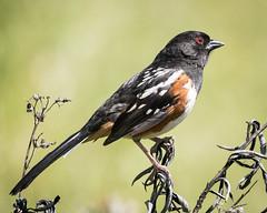 Spotted Towhee [Explored 4/27/17 #394] (Becky Matsubara) Tags: bird birds california eastbayregionalparks spottedtowhee towhee blackdiamondminesregionalpreserve nature wildlife pipilomaculatus
