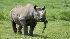 YWP9485 (davefieldson) Tags: yorkshirewildlifepark ywp rhino blackrhino