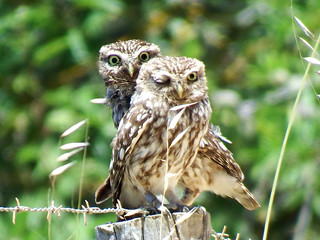 Little Owls Athene noctua