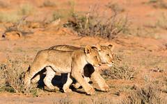 Kalahari cubs (gerdavs) Tags: specanimal