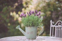 After the Shower (paulapics2) Tags: lavender frenchlavender plant nature garden outdoor spring printemps frühling flora floral fleur blümen bokeh depthoffield canoneos5dmarkiii sigma105mmf28exdgoshsmmacro lavendula