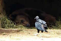 P1070203 - Olho vivo (João Batista**) Tags: keepyoureyesopen olhovivo urso pássaro bird bear