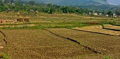 NEPAL, Auf dem Weg nach Pokhara, Bauern bei de Ernte, 16036/8299 (roba66) Tags: reisen travel explore voyages roba66 visit urlaub nepal asien asia südasien pokhara landschaft landscape paisaje nature natur naturalezza landwirtschaft bauern farmer ernte