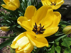 """If we could see the  miracle of a single flower clearly, our whole life would change.  Buddha  - explored (Trinimusic2008 - stay blessed) Tags: trinimusic2008 judymeikle nature flowers tulips yellow may 2017 spring toronto to ontario canada"