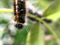 Just Dropping In (tisatruett) Tags: caterpillar larvae insect garden macro wildlife nature