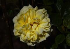 DSC_5465 (PeaTJay) Tags: nikond750 reading lowerearley berkshire macro micro closeups gardens outdoors nature flora fauna plants flowers rose roses rosebuds