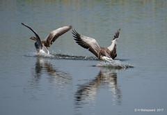 Ganzen  Landing (ditmaliepaard) Tags: ganzen geese vogel bird a6000 sony heusden water reflectie landing