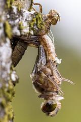 Nordische Moosjungfer - Metamorphose der Libelle (oliver_hb) Tags: nordischemoosjungfer moosjungfer segellibelle libelle metamorphose tisterbauernmoor bauernmoor makro