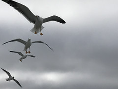 the birds (=Mirjam=) Tags: iphone seagulls boat texel ferry birds grey sky 52in2017challenge april 2017
