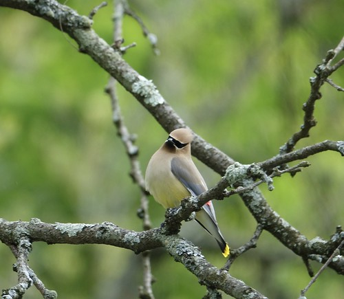 """Cedar Waxwing • <a style=""""font-size:0.8em;"""" href=""""http://www.flickr.com/photos/52364684@N03/34181184620/"""" target=""""_blank"""">View on Flickr</a>"""
