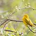 Yellow Warbler [30/100]