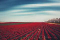 100001 tulips (Dyrk.Wyst) Tags: baumreihe bliumenfeld blumen blumenundpflanzen blã¼ten bã¤ume feld frã¼hling himmel kirschblã¼ten landschaft niederrhein ordnung reihen schleierwolken tulpen wolken allee alley atmosphere bloom blossoms cherryblossoms clouds dunst ffeld field flowers haze landscape lines lã¤ndlich order outdoor rural sky spring trees tulips
