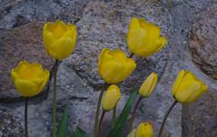Yellow tulips (frankmh) Tags: plant flower tulip hittarp skåne sweden outdoor